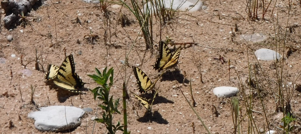 Swallowtails on the beach at South Manitou