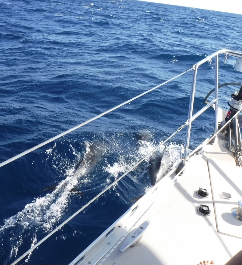 Dolphins on the bow!