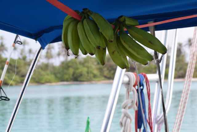 Bananas ripening under the bimini