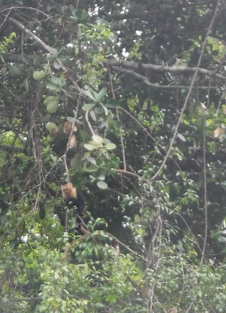 Capuchin monkeys hanging out up the river