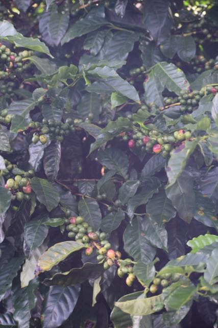 Coffee, growing by the side of the road on one of our expeditions