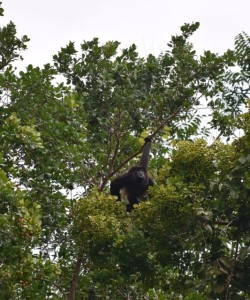 My favorite howler monkey picture, actually taken at Bisan Beach and not in the park