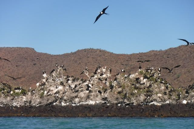 Frigate bird rookery on an old pearl farm