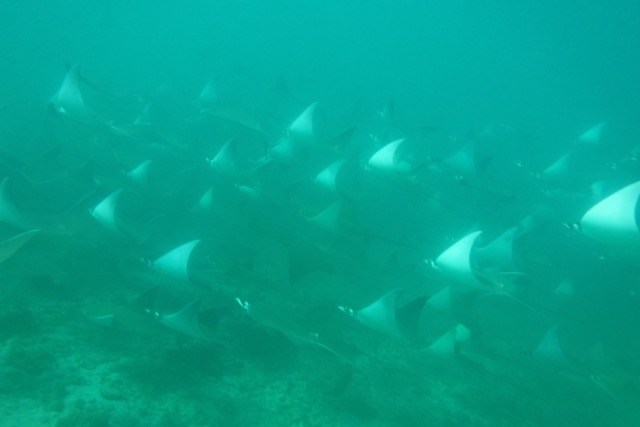 Swimming with Pacific Manta Rays