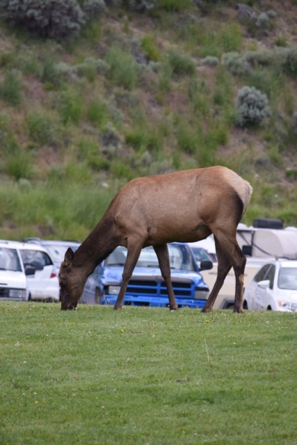 Elk like to hang out near people