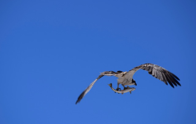 Osprey with a trout near Old Faithful
