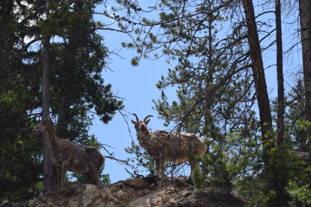 Couple of shaggy bighorn sheep