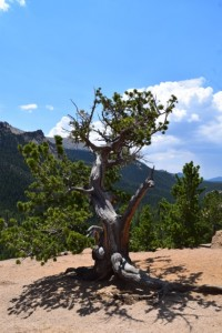 1,000-year-old tree